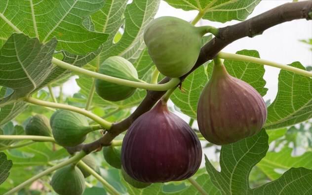 Σύκο: το ιδανικό καλοκαιρινό φρούτο
