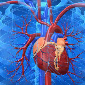 bigstock-Cardiovascular-System-3216943