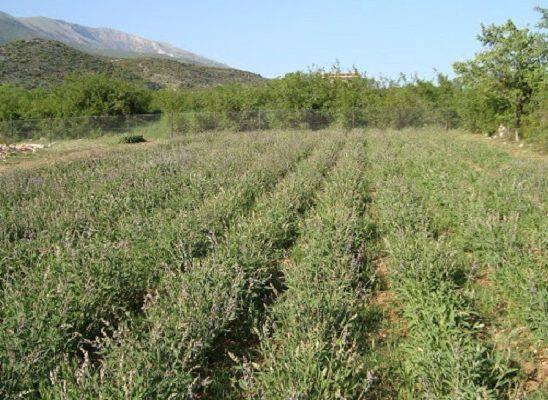 Αυτό είναι το βότανο της αθανασίας . Υπάρχει παντού στην Ελλάδα!!!